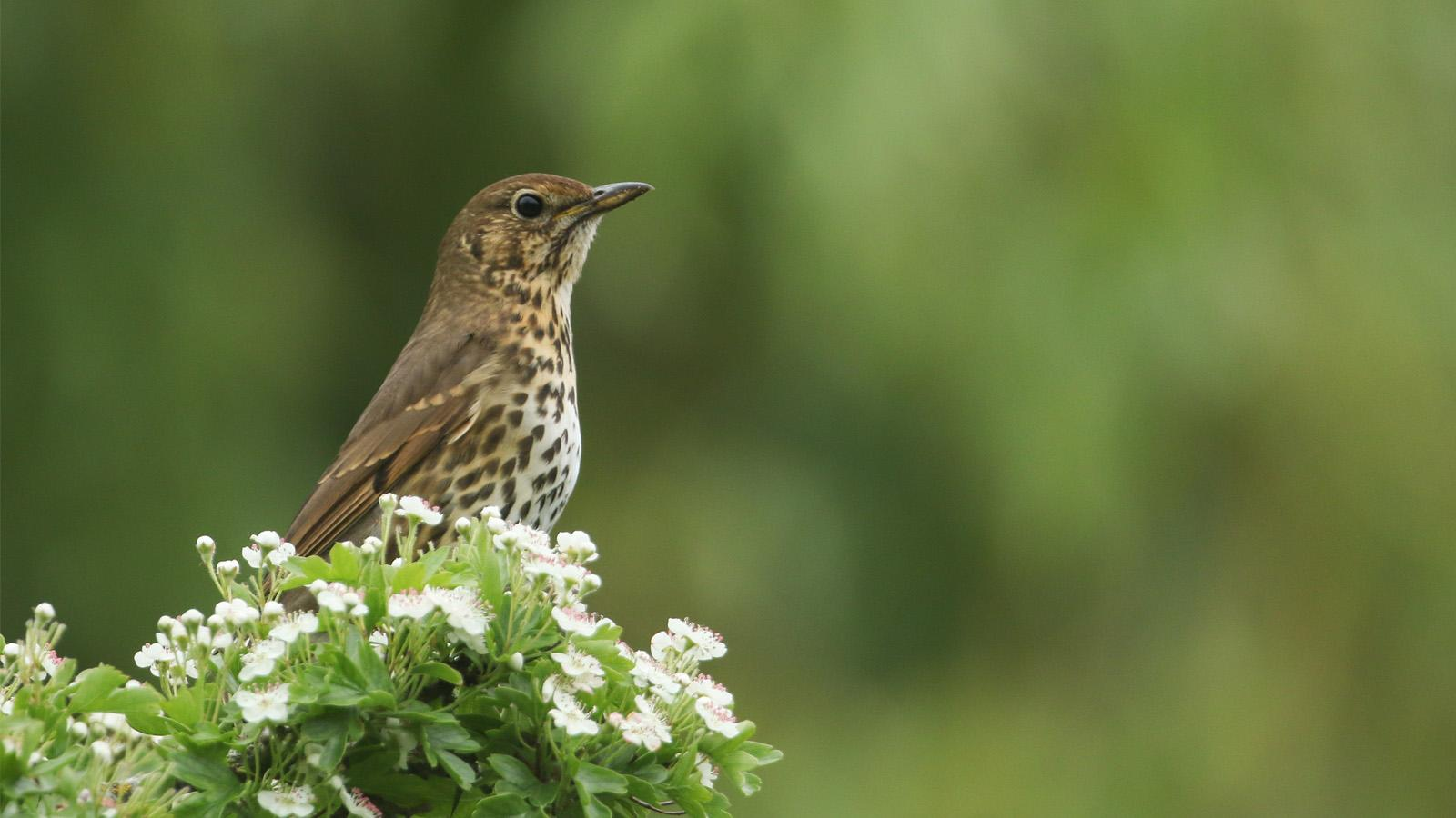 A thrush perch on some greenery