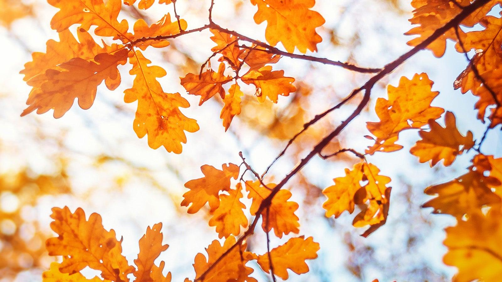 Brown oak leaves in Autumn