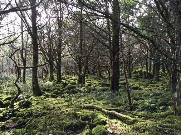 Yew, moss and holly grow over the rocky limestone floor of these woods in Killarney National Park