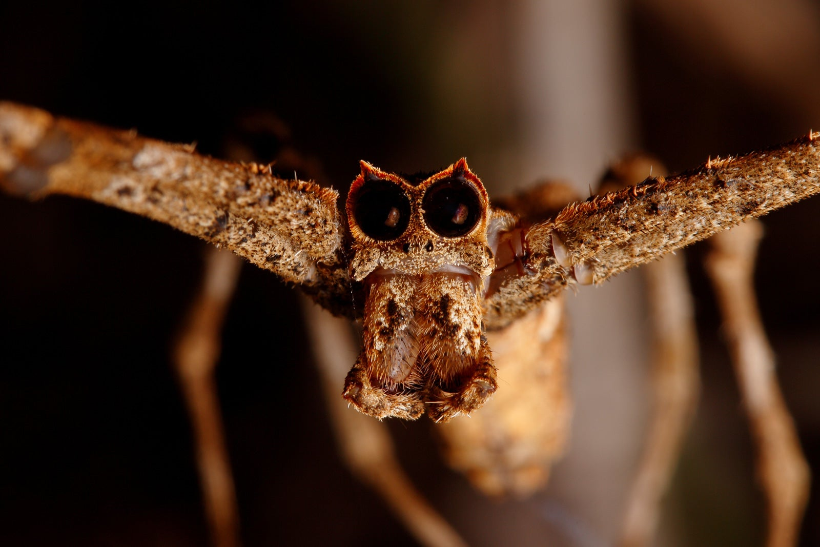 A close up photograph showing the face of the ogre-faced spider, with two huge black eyes. It's body is light brown in colour.