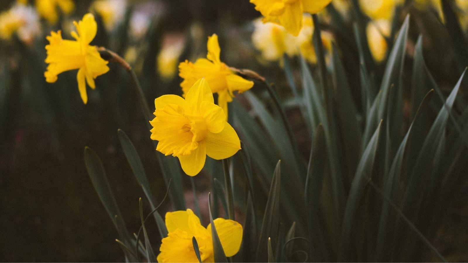 Yellow Daffodils in field