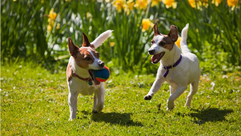 Two dogs playing with a ball in a sunny field.