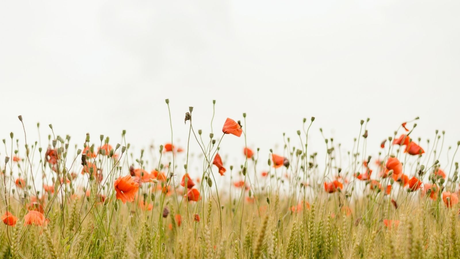 Field of poppies and tall grass