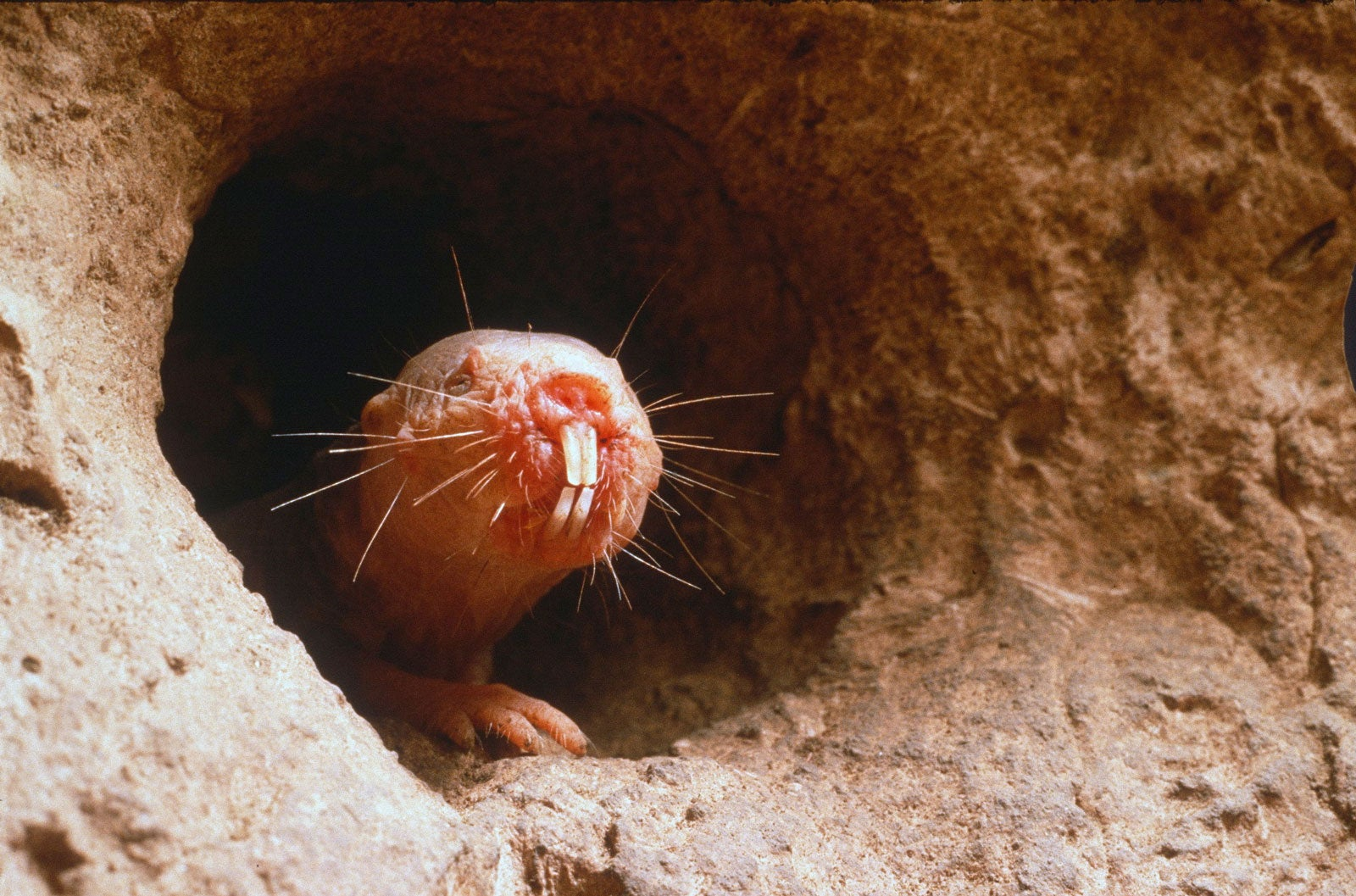 The naked mole rat, bald with whiskers and large front teeth emerging from its burrow