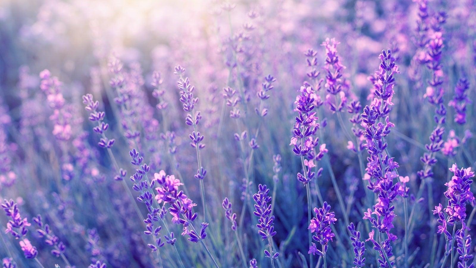 Lavender field in the sunshine