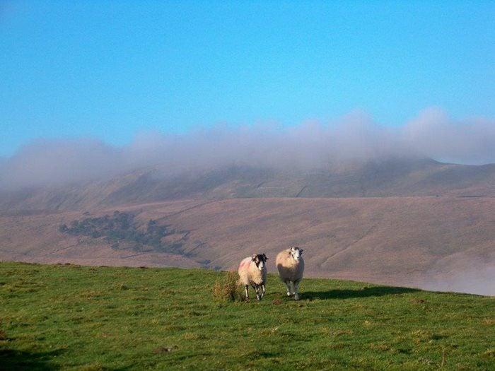 Swaledale Sheep on Yorkshire Dales