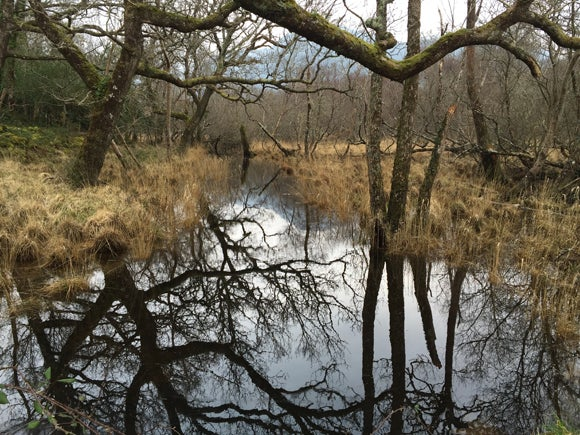 A river in the woods of Kilarney with oak branches above, and reflected below. Long grasses and woodland on either side on a cloudy day.