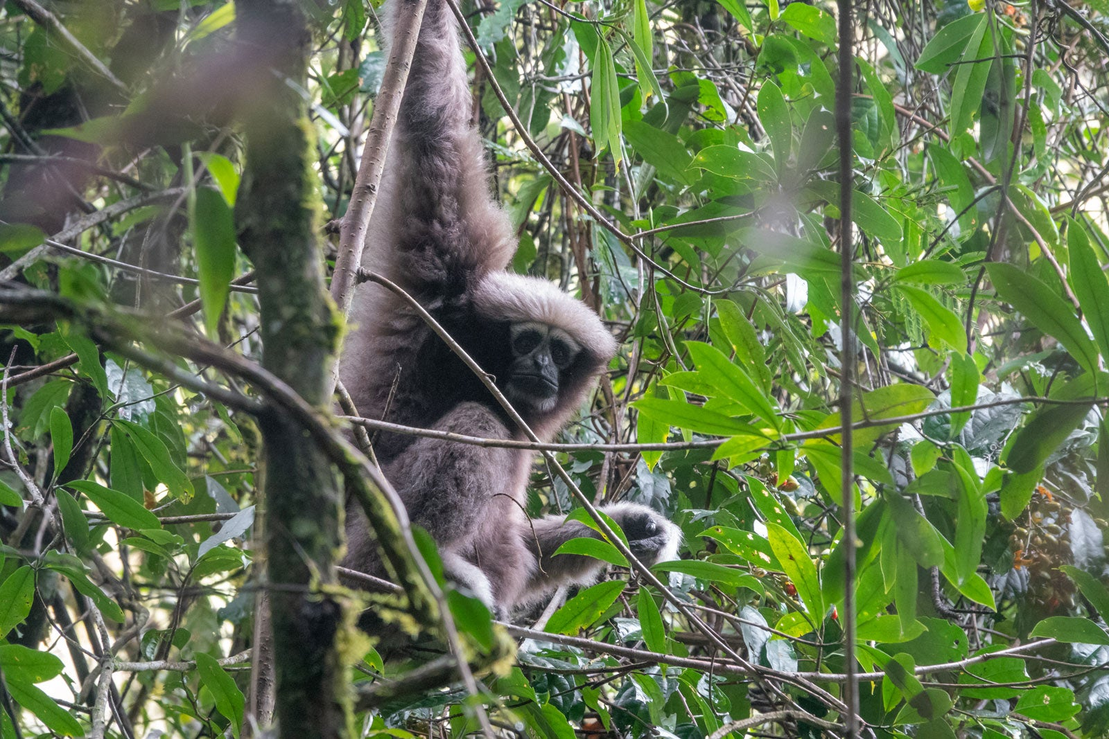 The Skywalker hoolock gibbon hangs from a tree in the jungle, it has plush grey fur and eyes rimmed by white fur.