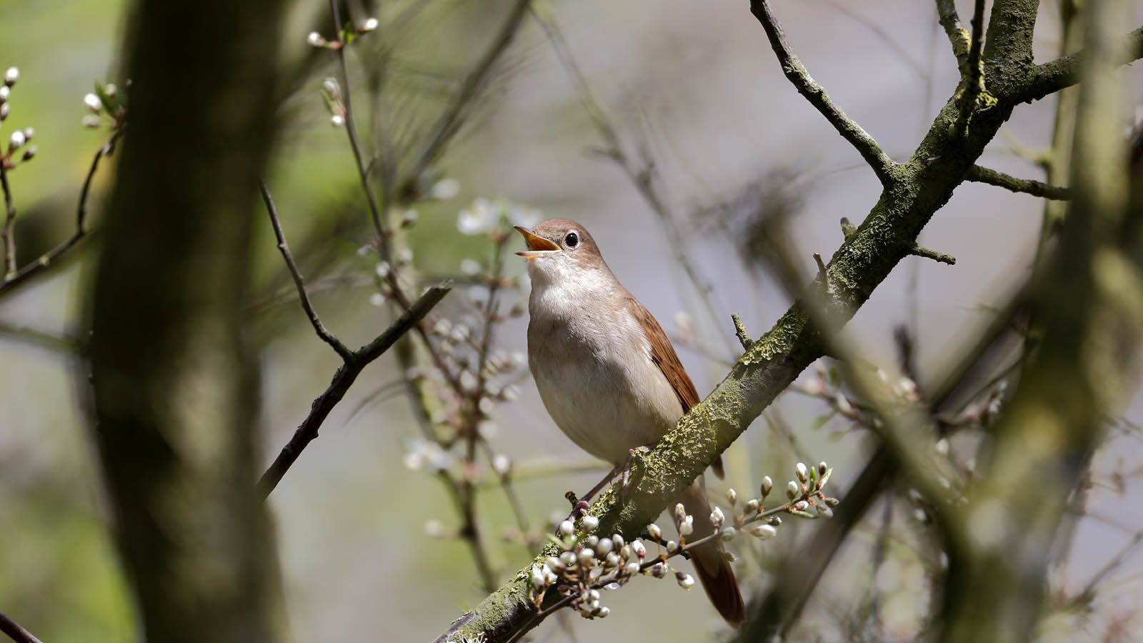 A nightingale sat on a branch of a tree