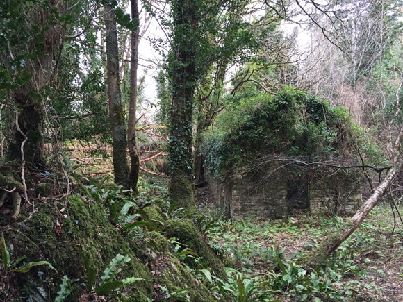 An abandoned ruin of a stone cottage, the roof completely grown over with ivy and moss, surrounded by woodland on a cloudy day