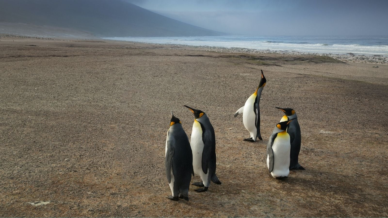 Emperor Penguins in Falkland Islands