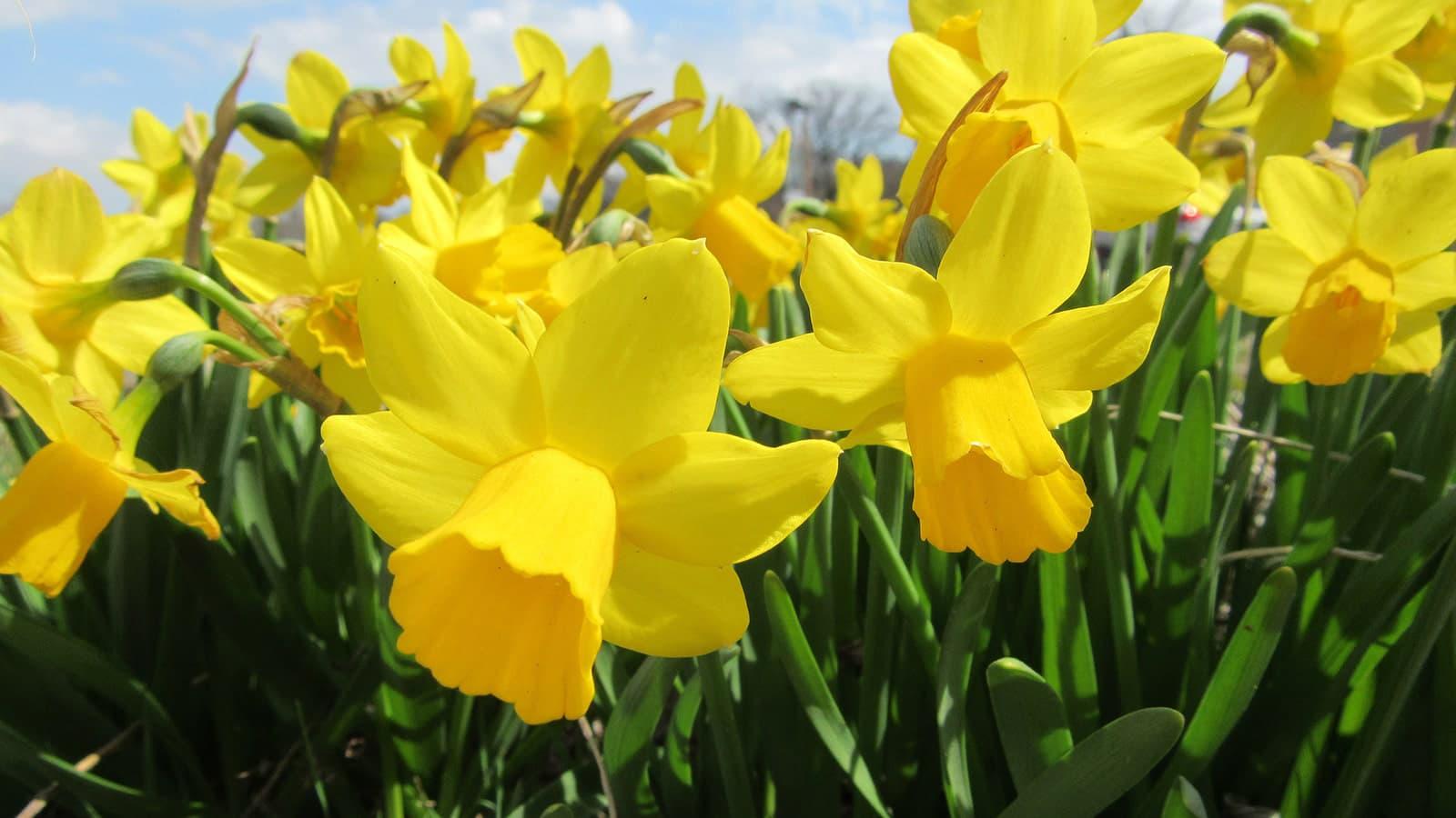 Close up image of daffodills
