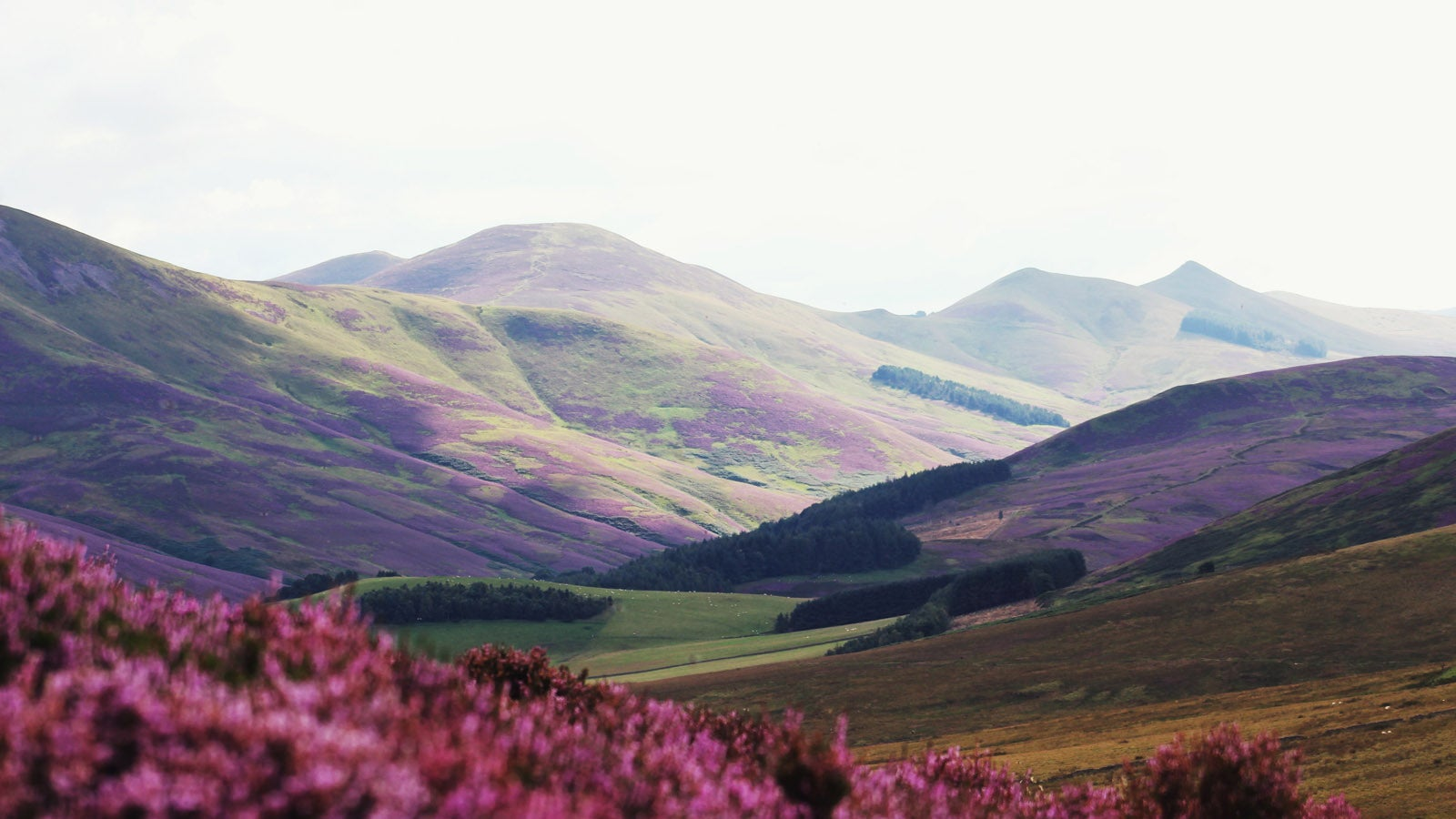 A photo of Scottish hills, with heather appearing in the foreground