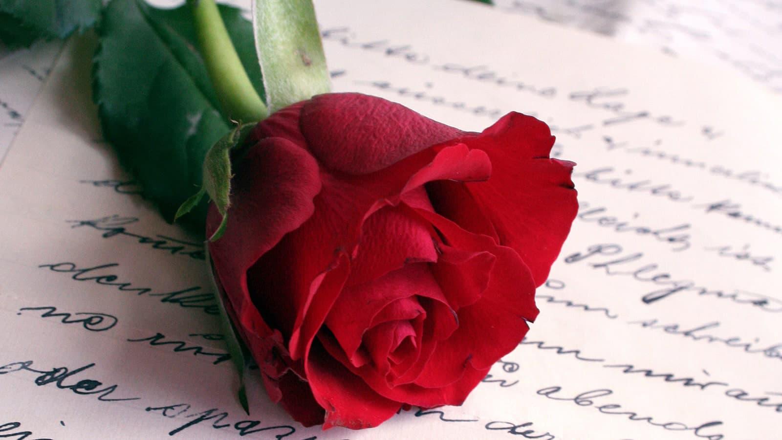 Rose laid on a love poem
