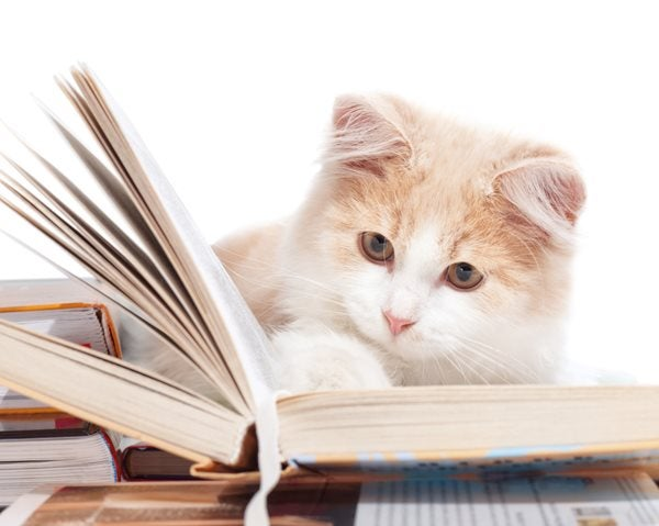 White and ginger cat reading a hardback book