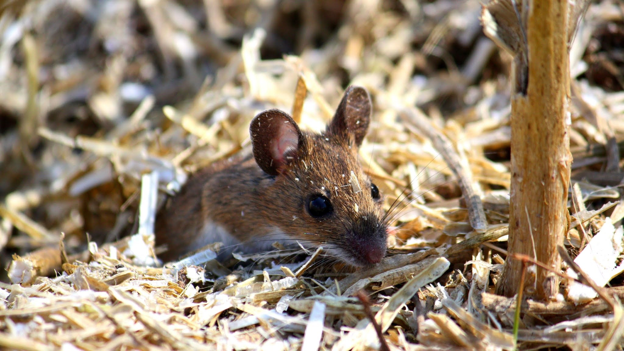 A photo of a mouse appearing out of wood chippings