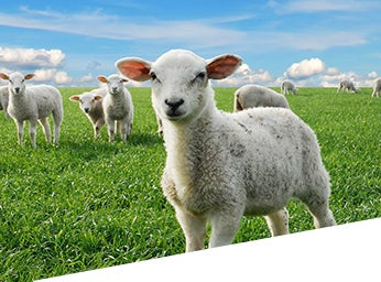 Zolvix Lambs
