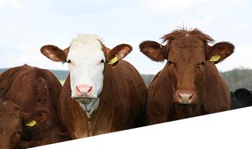 Beef Cattle Outside