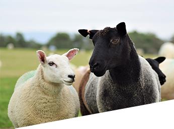 Zolvix mid late season lamb dose