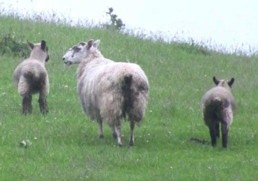 7 Coccidiosis lambs differential diagnosis Nematodirus