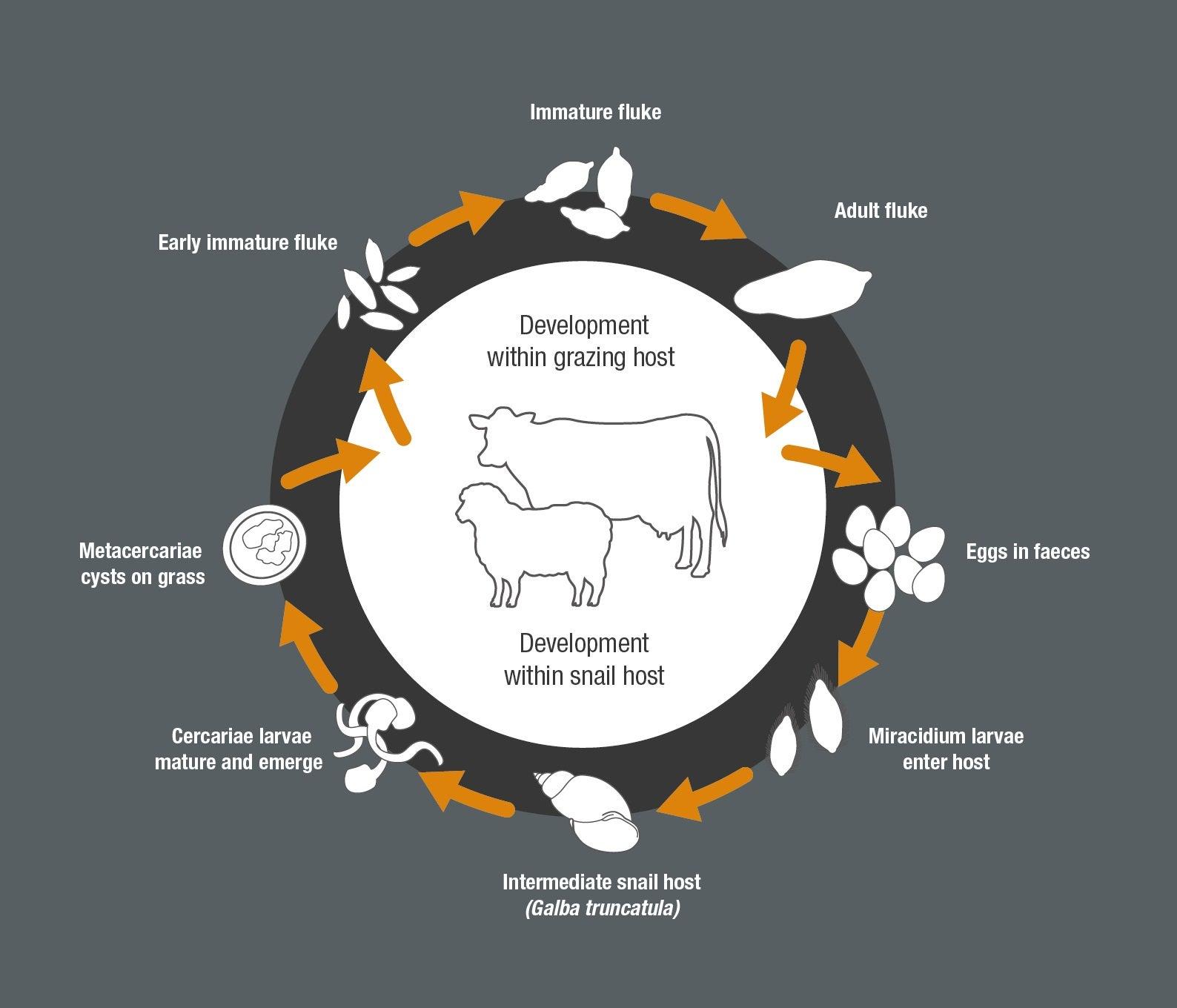 Sheep Cow Liver Fluke Life cycle jpg