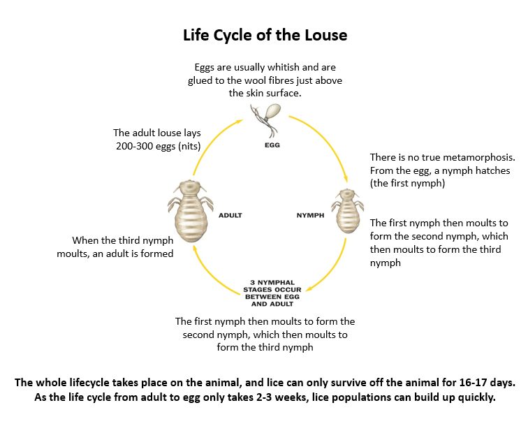 Life cycle of the louse lice sheep