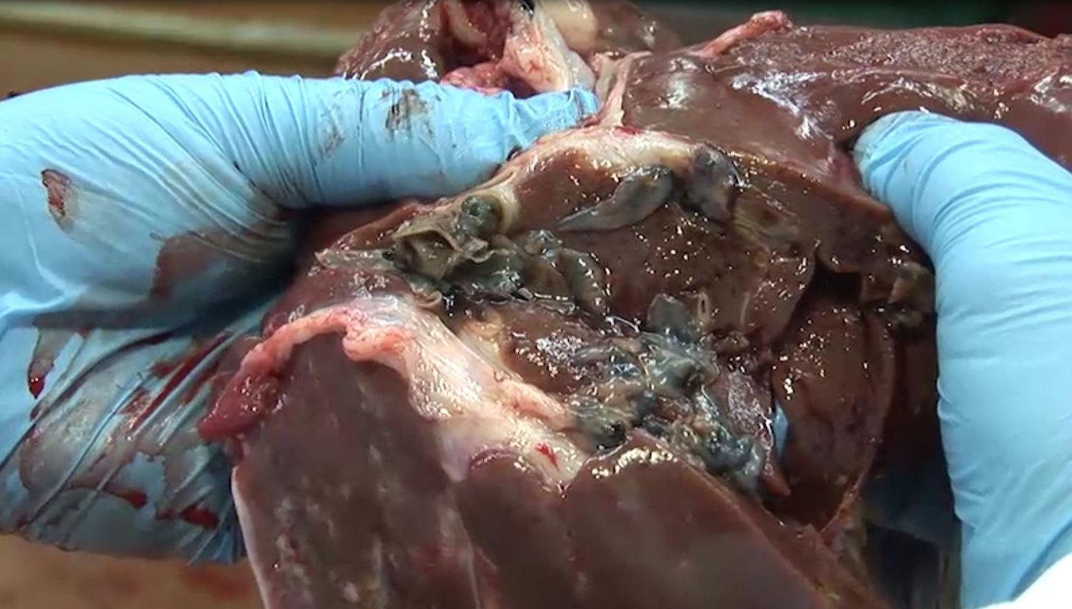 Liver fluke sheep cattle dairy