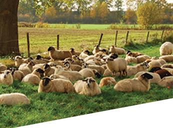Sheep Liver Fluke Image