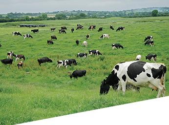 Cattle Liver Fluke Image
