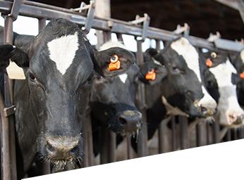 Dairy cows widget