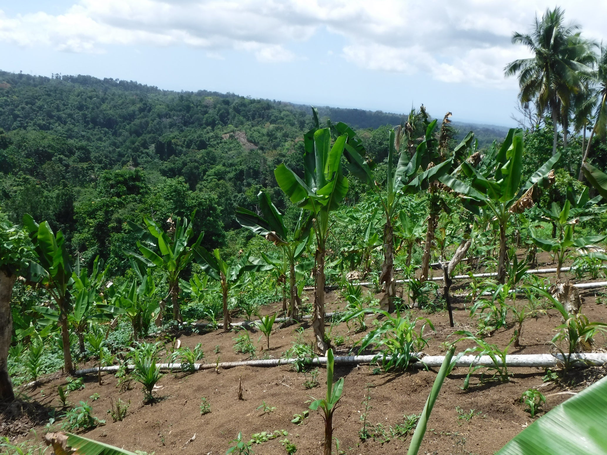 A food garden in Ohu, Papua New Guinea. The vast majority of people in Papua New Guinea rely on their garden for their daily food and income. Credit: Mirjam Hazenbosch.