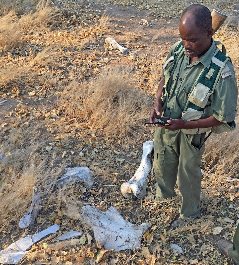 A ranger uses a handheld device to record an old elephant carcass while on patrol (Photo: Tim Kuiper; used with the permission of the ranger).